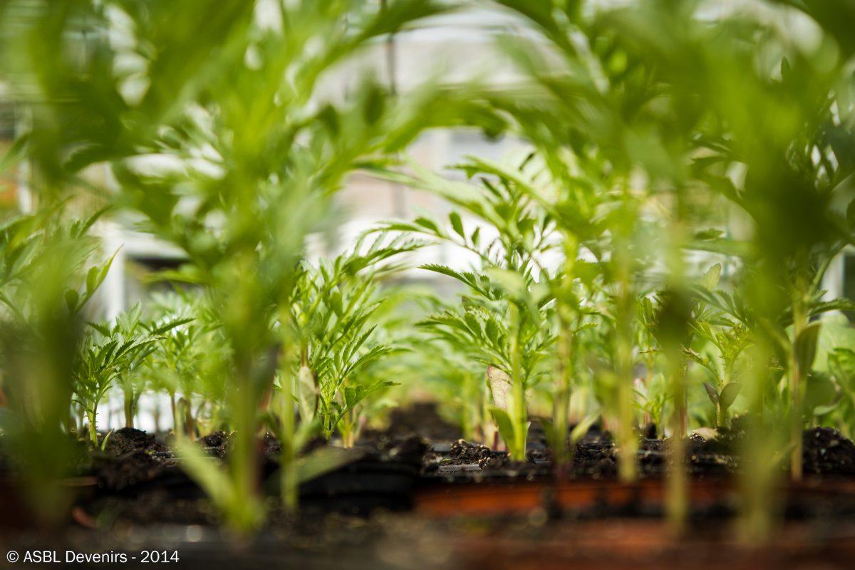 Métiers Verts - Semences de carottes